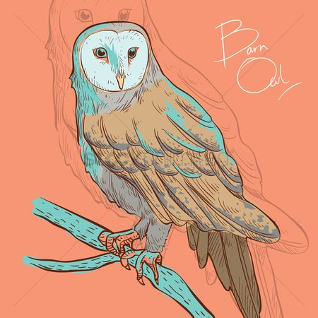 Birds : Barn owl