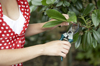 Woman trimming leaves with garden scissors
