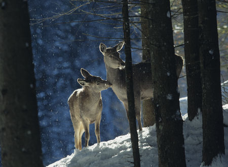 Animals Wildlife : Red deer doe with cub