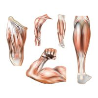 Collection of human muscles