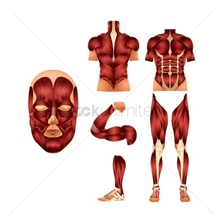Strength exercise : A set of human muscles
