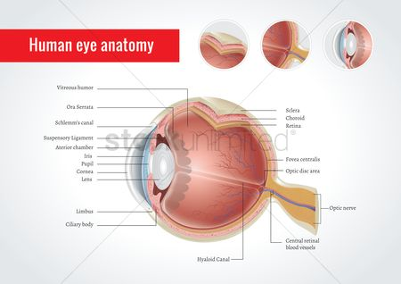 Vessel : Anatomy of human eye