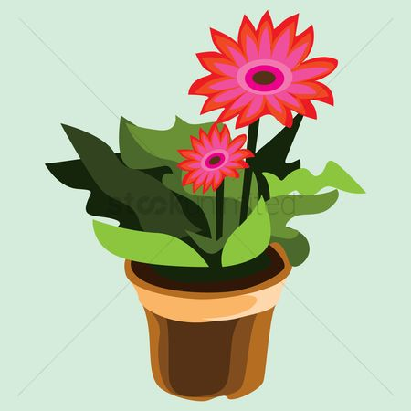 Flower pot : Gerbera flower plant in pot
