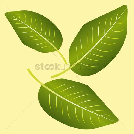 Mangoes : Mango leaves