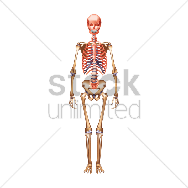 diagram human skeleton vector images