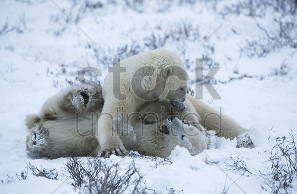 canada churchill polar bear cubs playing in snow stock photo