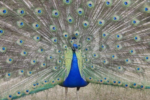 indian peafowl pavo cristatus (asiatic)with tail feathers displayed in courtship ritual stock photo