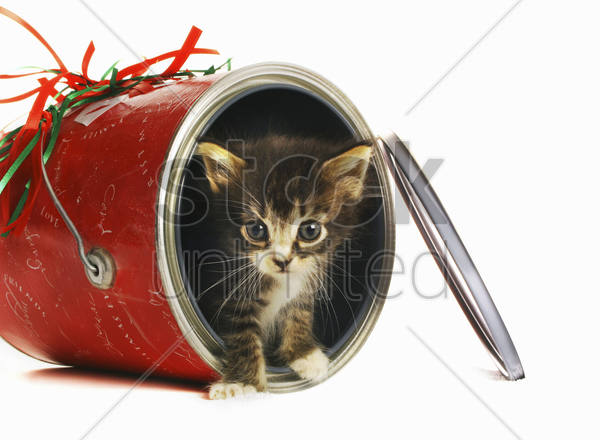 kitten coming out from an opened can stock photo