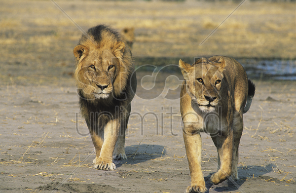 pair of lions walking on savannah stock photo