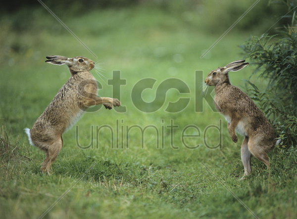 two aggressive hares stock photo