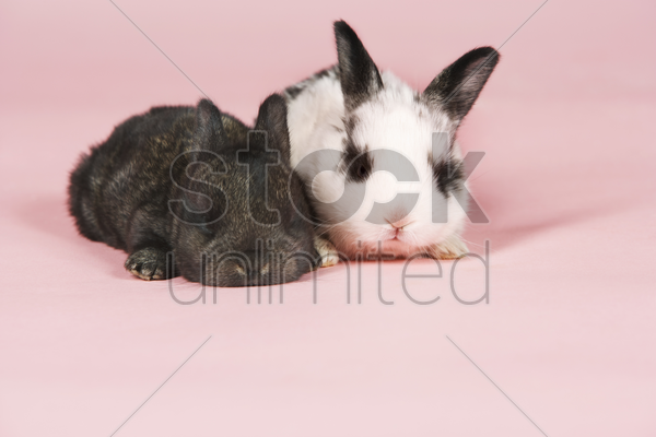 two baby pet rabbits on pink background stock photo