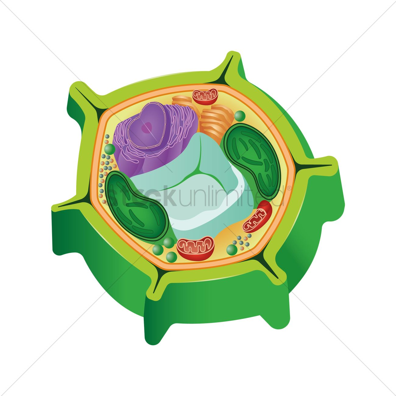 Anatomy of a plant cell Vector Image - 1870108 | StockUnlimited