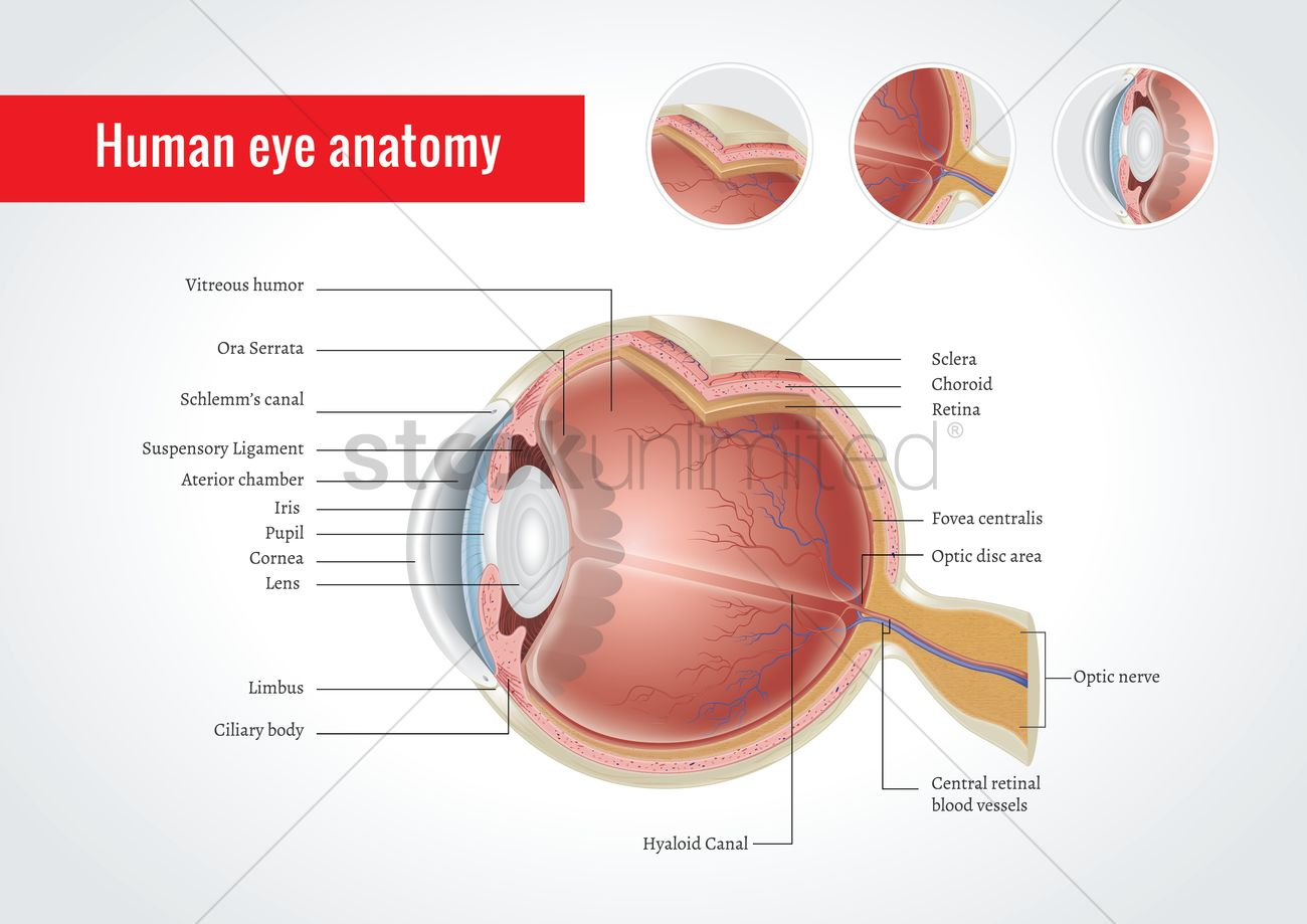 Anatomy of human eye Vector Image - 1825192 | StockUnlimited