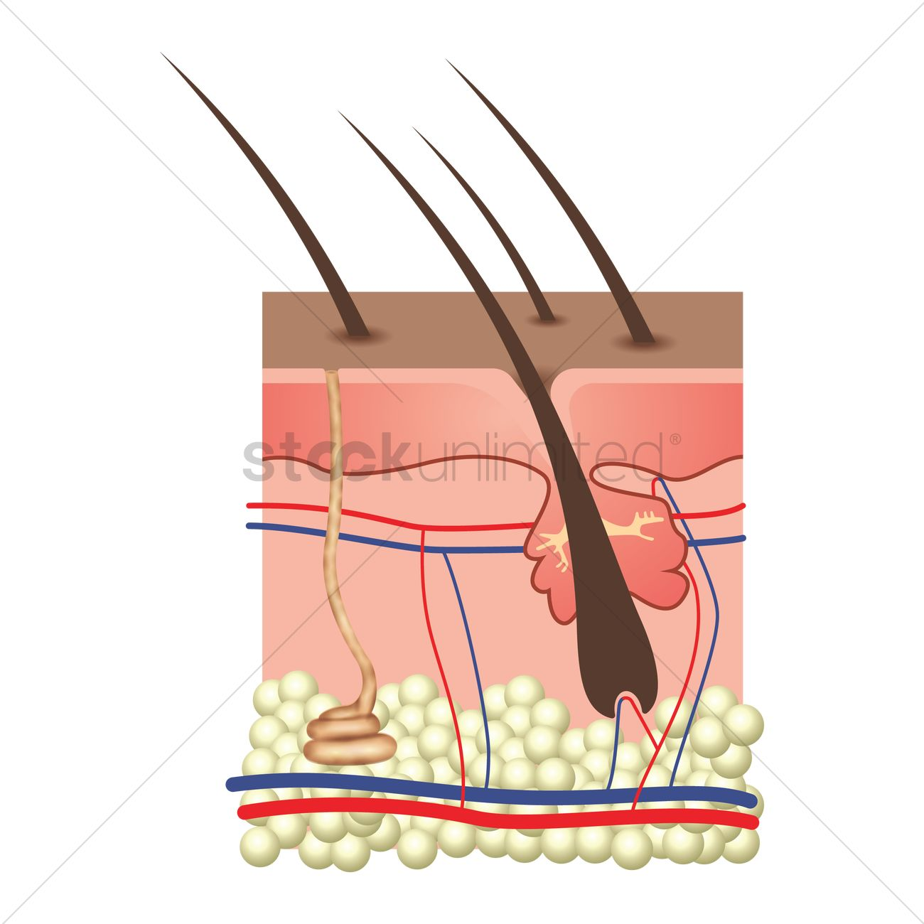 Anatomy Of Skin Layers Vector Image 1815064 Stockunlimited
