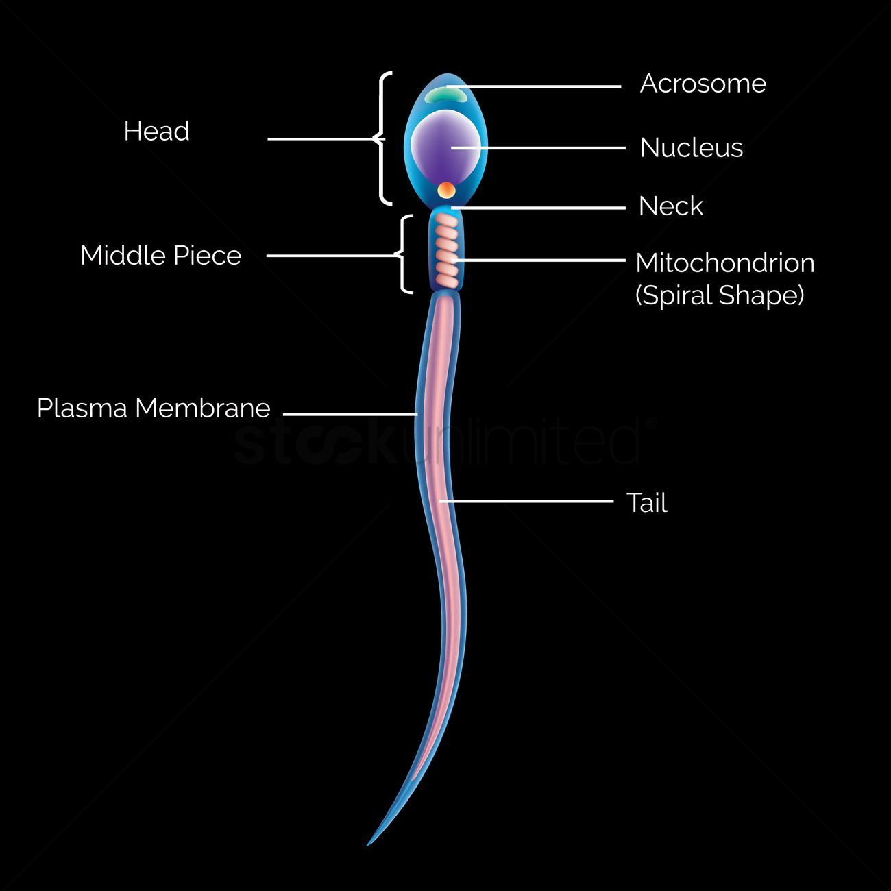 Anatomy Of Sperm Vector Image 1825308 Stockunlimited