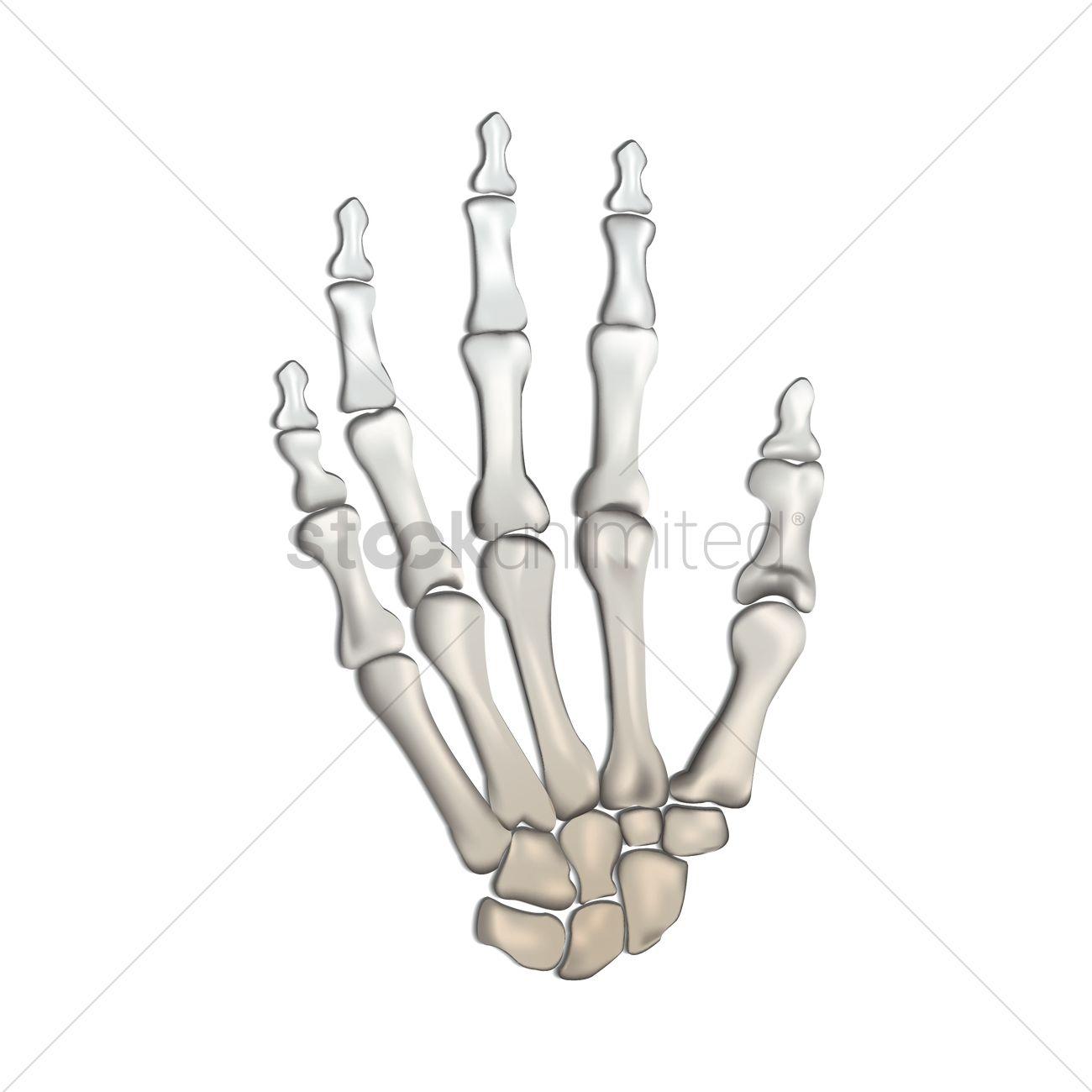 Bones Of Human Hand Vector Image 1815224 Stockunlimited