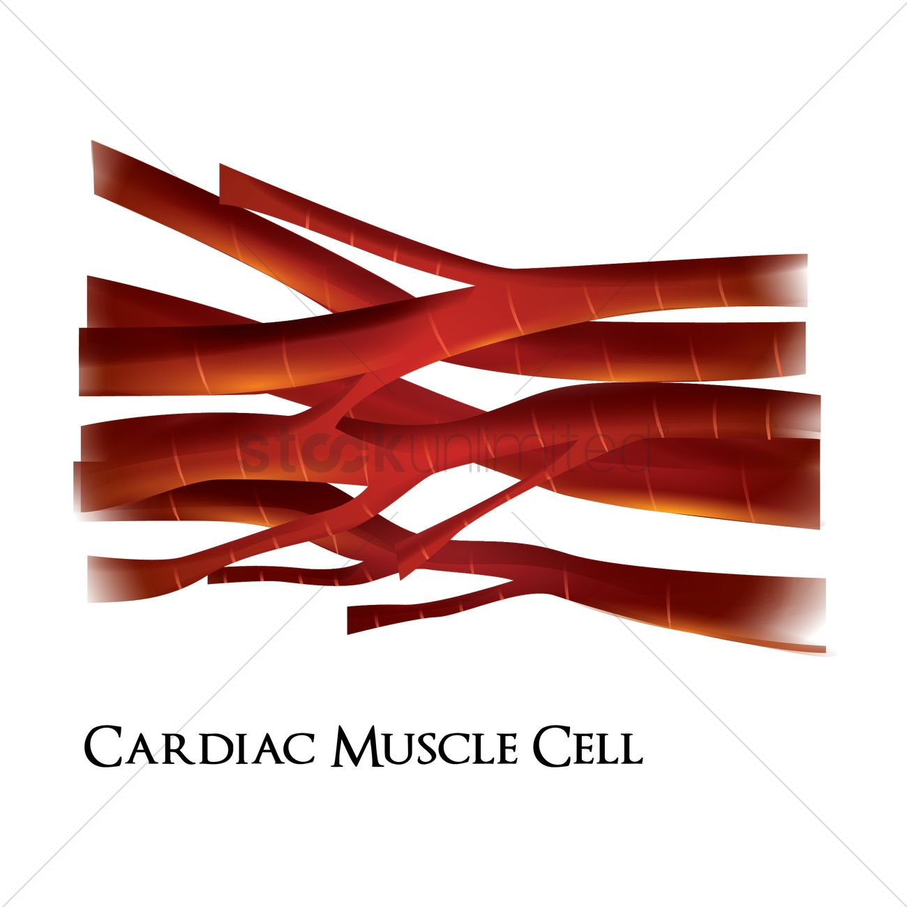 Cardiac muscle cell Vector Image - 1807888 | StockUnlimited
