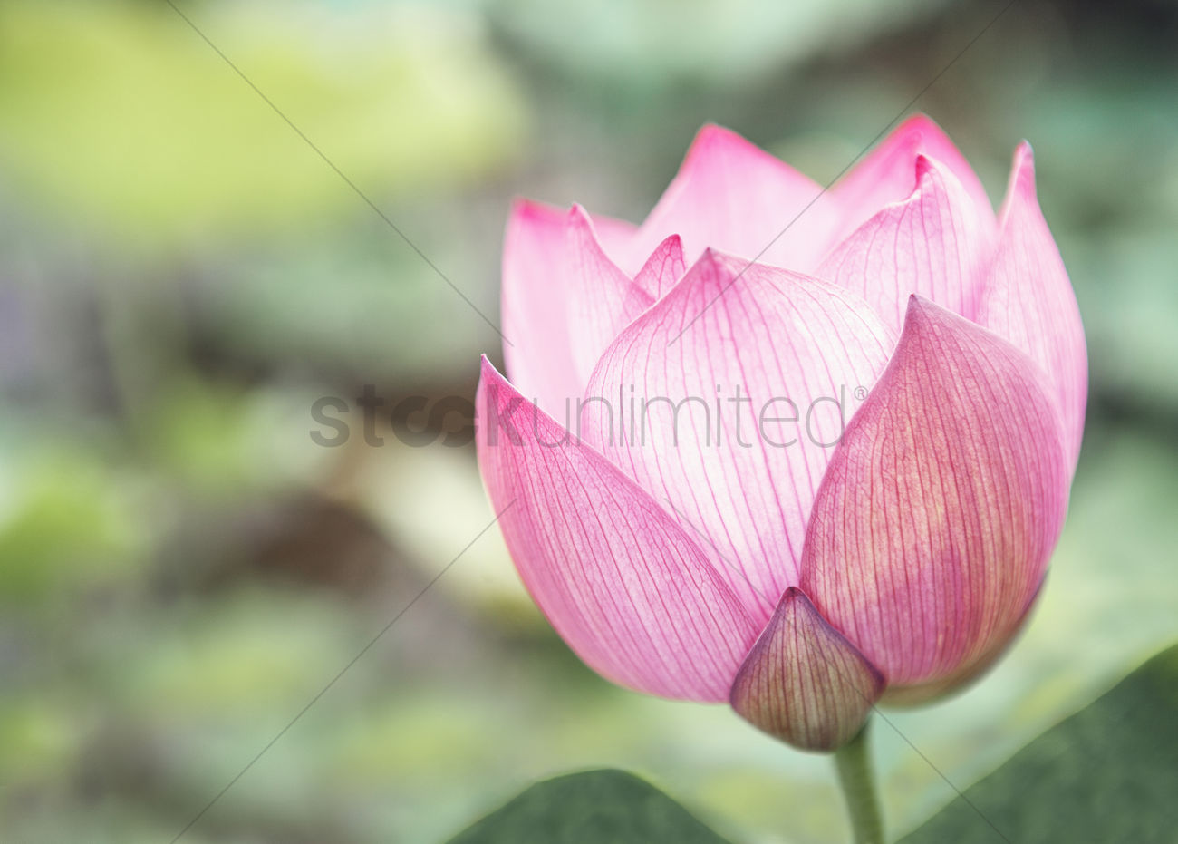 Close Up Of Pink Lotus Flower On A Lake China Stock Photo 2106992