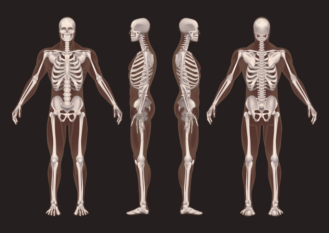 Collection Of Human Skeletons Vector Image 1585228 Stockunlimited
