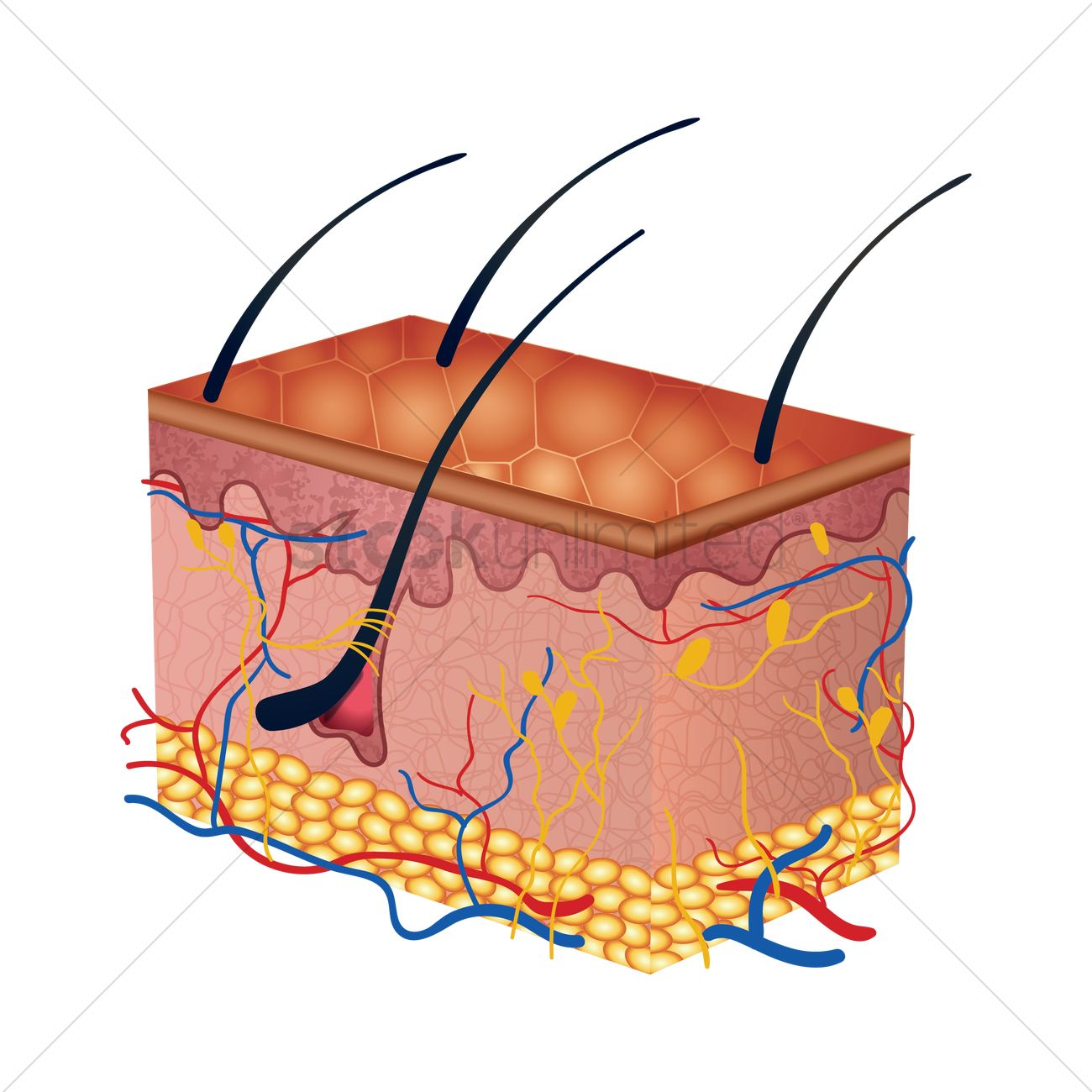 cross-section of human skin layers vector graphic