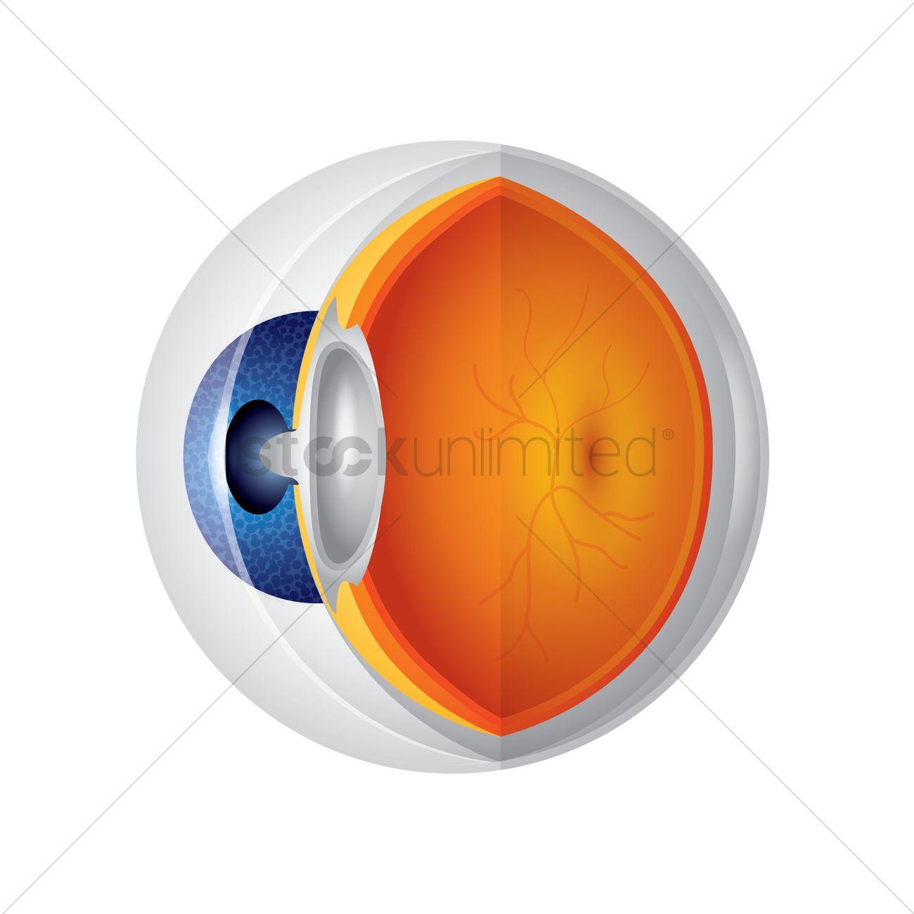Eyeball anatomy Vector Image - 1866372 | StockUnlimited