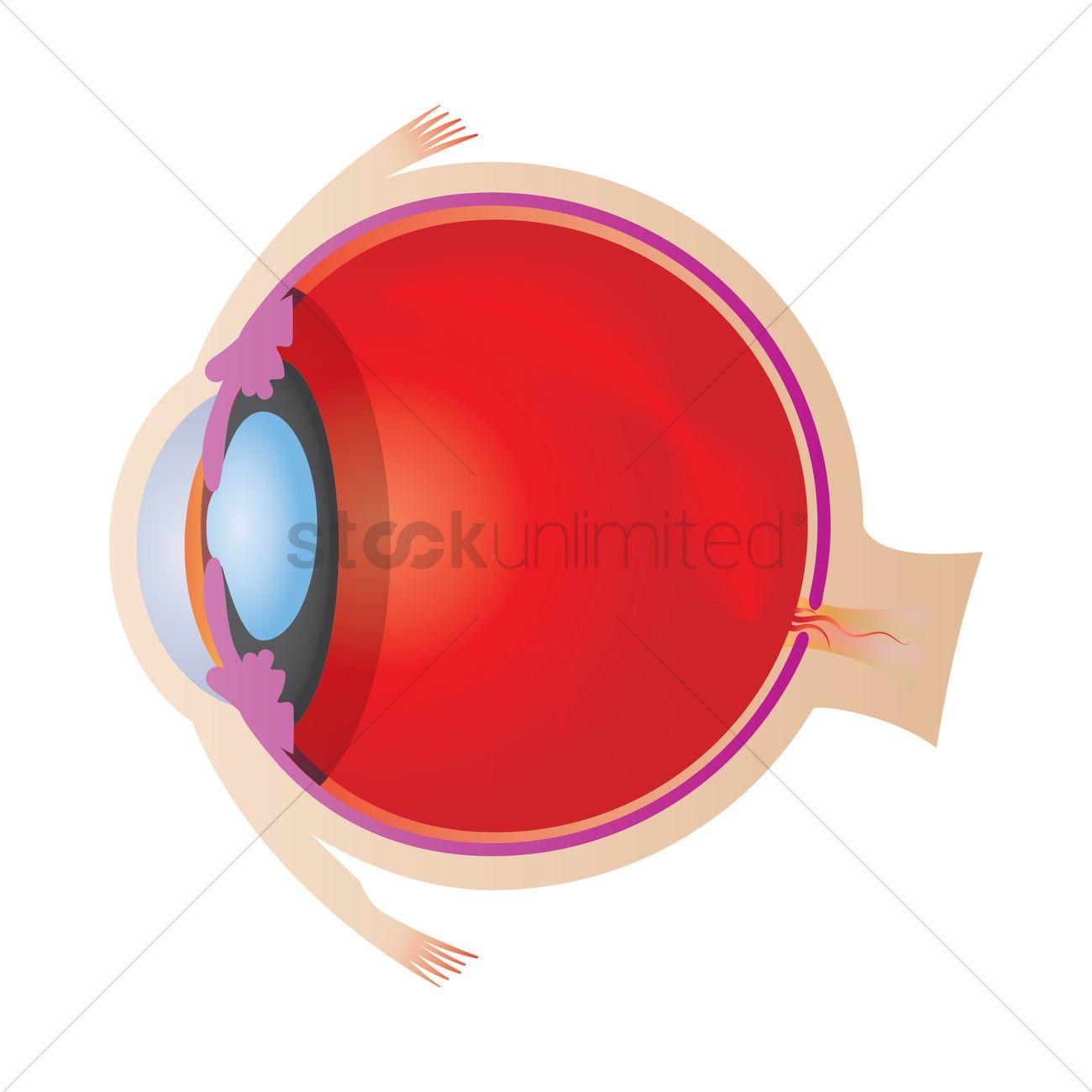 Eyeball anatomy Vector Image - 1866580 | StockUnlimited