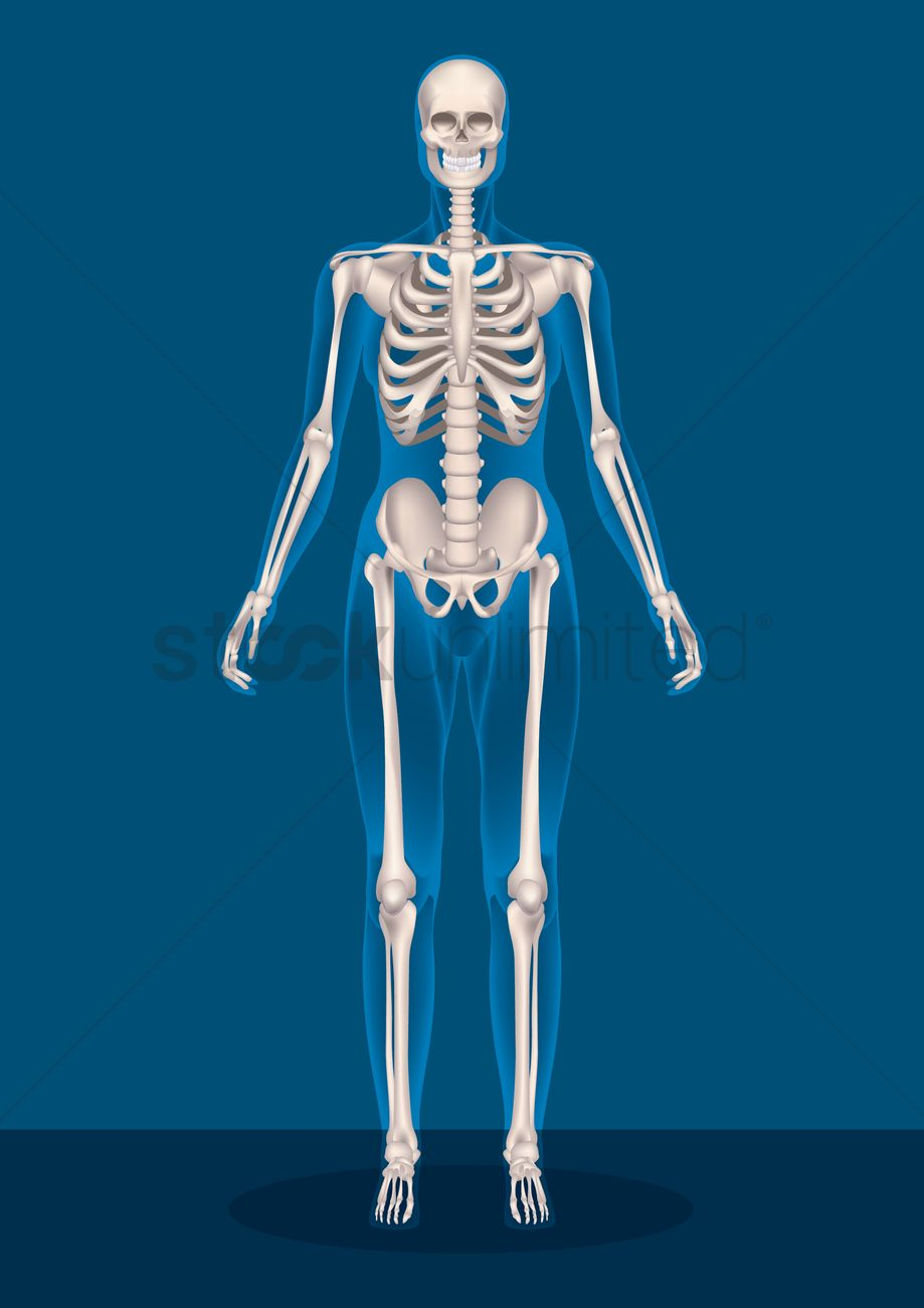 Female Human Skeleton Vector Image 1590168 Stockunlimited