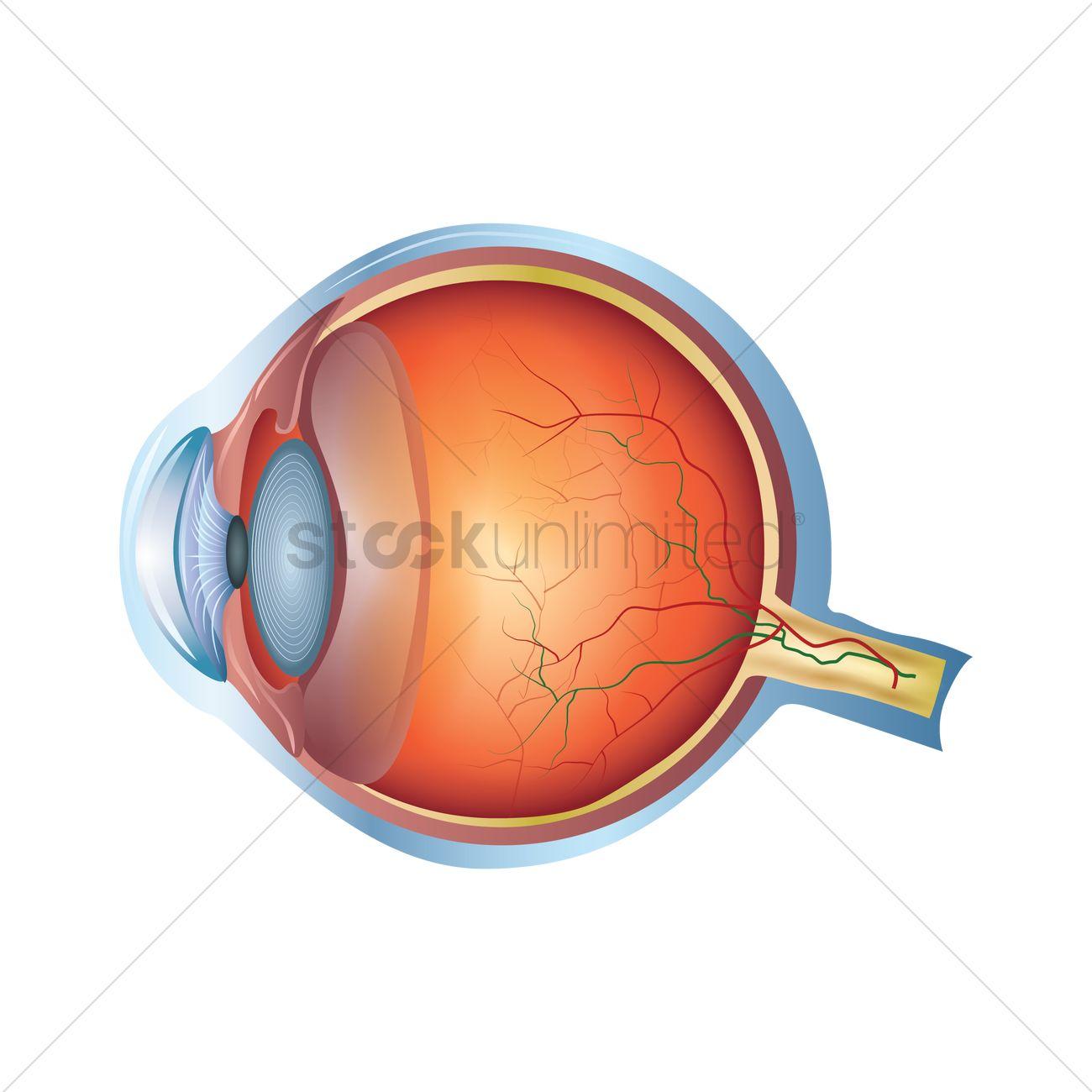 Human anatomy eyes
