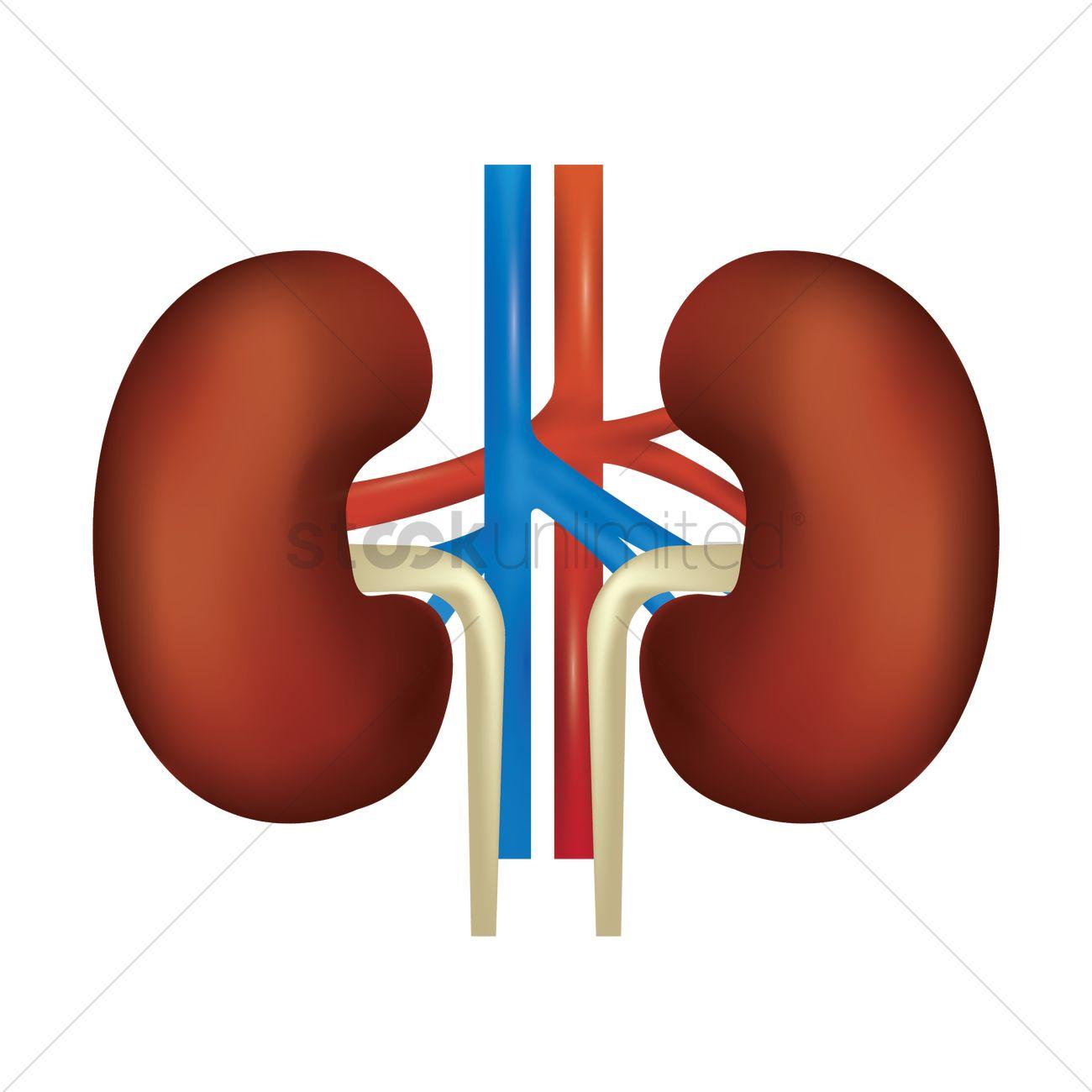 Human Kidney Vector Image 1866360 Stockunlimited