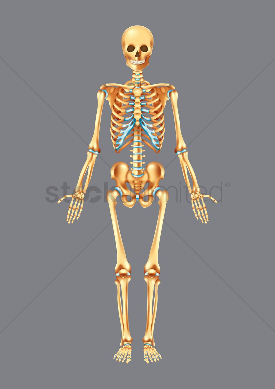 Human Skeleton Vector Image 1759448 Stockunlimited