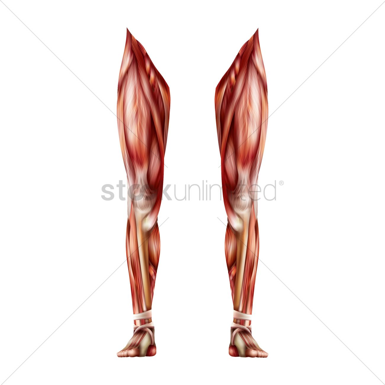 Leg Muscles Vector Image 1814980 Stockunlimited