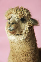 Popular : Alpaca on pink background close-up of head