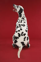 Dalmatian sitting looking up back view