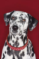 Dalmatian sitting looking up close-up