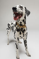 Dalmatian standing looking up mouth open