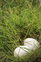 Eggs in patch of grass