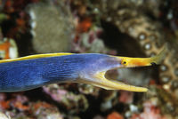 Female ribbon eel with mouth open side view