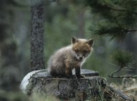 Fox cub sitting on tree stump