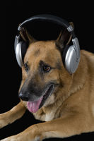 German shepherd dog wearing headphones
