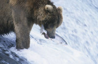 Grizzly bear swimming with fish in mouth