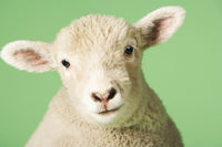 Popular : Lamb on green background close-up of head