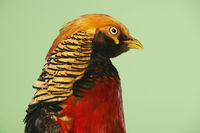 Popular : Pheasant on green background close-up of head