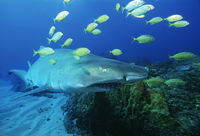 Sodwana bay indian ocean south africa sand tiger shark  carcharias taurus  and golden trevally  gnathanodon speciosus