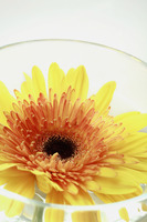 Sunflower in a glass bowl