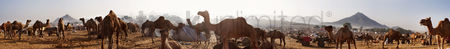 Large group of animals : 360 degree view of pushkar camel fair  pushkar  ajmer  rajasthan  india