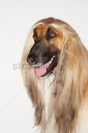 Dogs : Afghan hound close-up