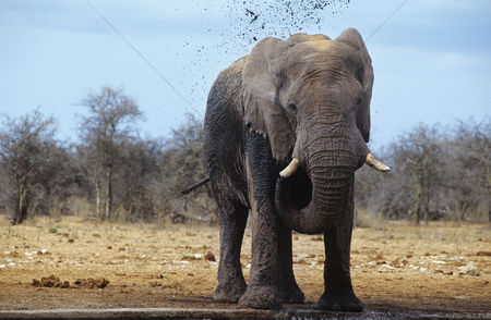 Animals in the wild : African elephant  loxodonta africana  squirting mud on savannah
