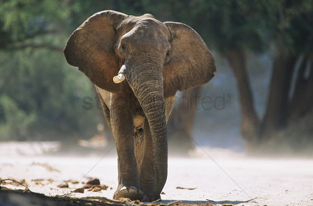 Animals in the wild : African elephant  loxodonta africana
