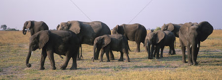 Large group of animals : African elephants  loxodonta africana  on savannah