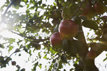 Trees : Apples on tree close-up lens flare